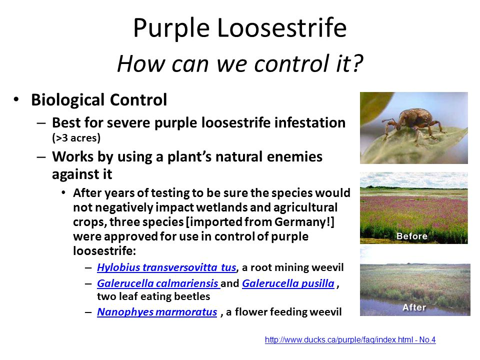 Purple Loosestrife How can we control it.