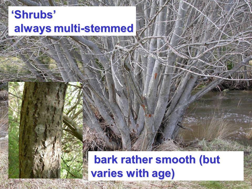'Shrubs' always multi-stemmed always multi-stemmed bark rather smooth (but varies with age) bark rather smooth (but varies with age)
