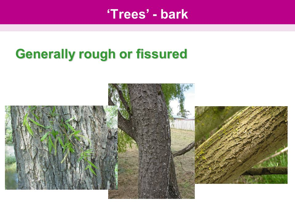 'Trees' - bark Generally rough or fissured