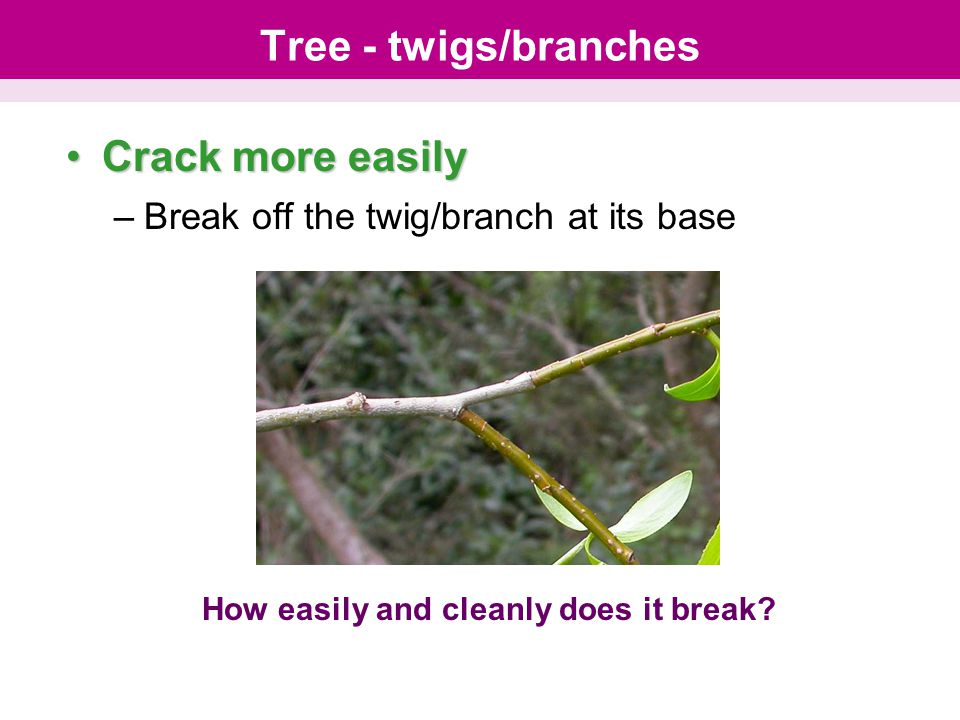 Tree - twigs/branches Crack more easilyCrack more easily –Break off the twig/branch at its base How easily and cleanly does it break