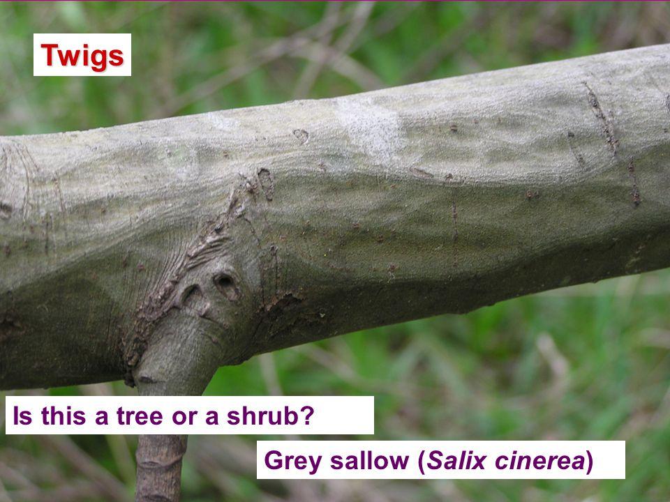 Twigs Grey sallow (Salix cinerea)