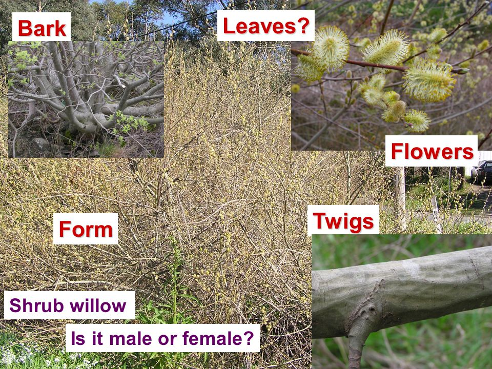 Shrub willow Is it male or female Form Leaves FlowersTwigs Bark