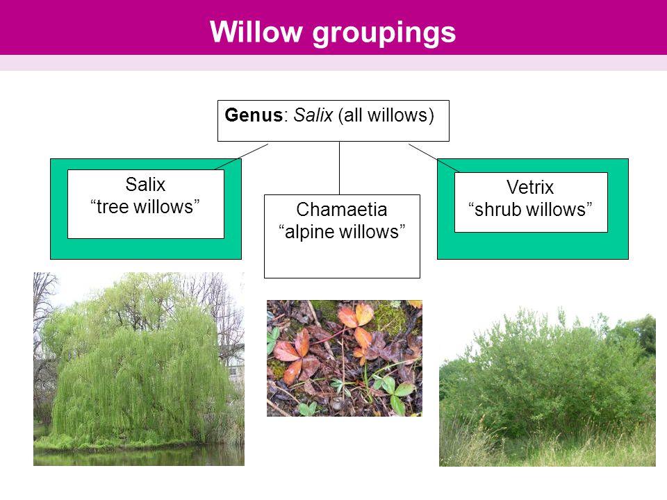 """Willow groupings Genus: Salix (all willows) Salix """"tree willows"""" Chamaetia """"alpine willows"""" Vetrix """"shrub willows"""""""