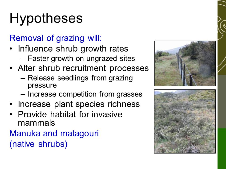 Hypotheses Removal of grazing will: Influence shrub growth rates –Faster growth on ungrazed sites Alter shrub recruitment processes –Release seedlings from grazing pressure –Increase competition from grasses Increase plant species richness Provide habitat for invasive mammals Manuka and matagouri (native shrubs)