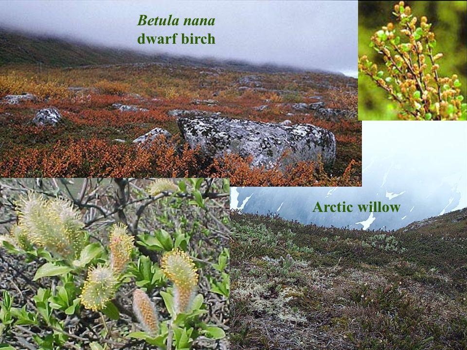 Betula nana dwarf birch Arctic willow