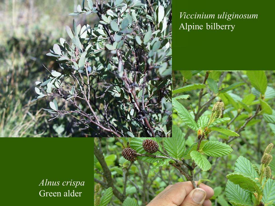 Viccinium uliginosum Alpine bilberry Alnus crispa Green alder