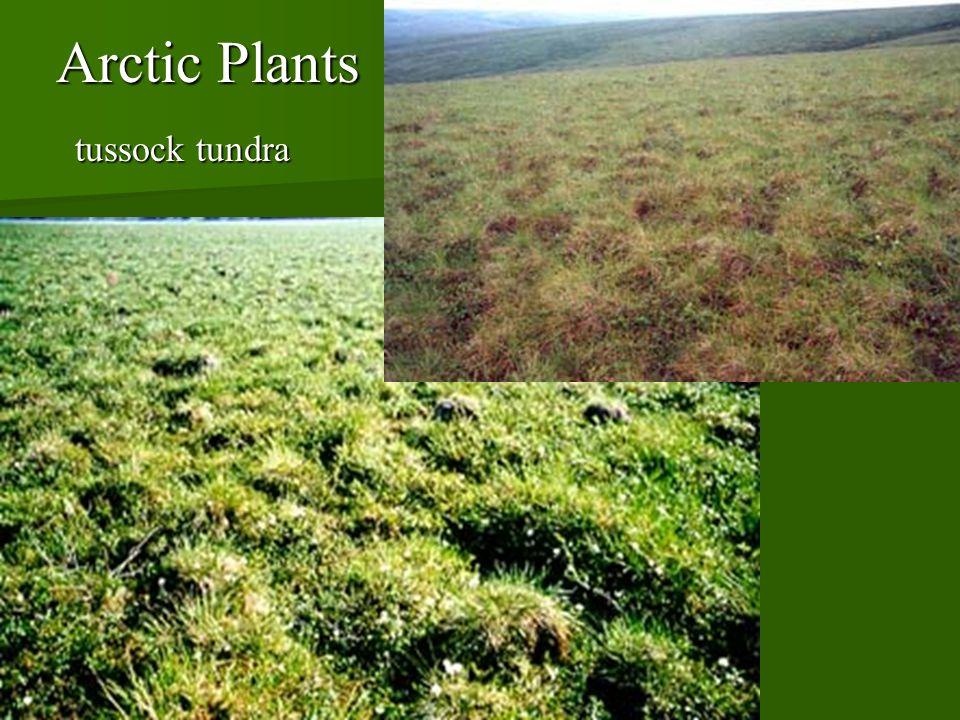 Arctic Plants tussock tundra tussock tundra