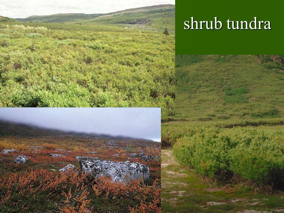 shrub tundra