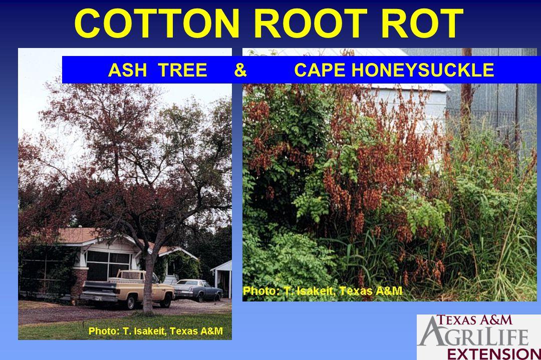 ASH TREE & CAPE HONEYSUCKLE