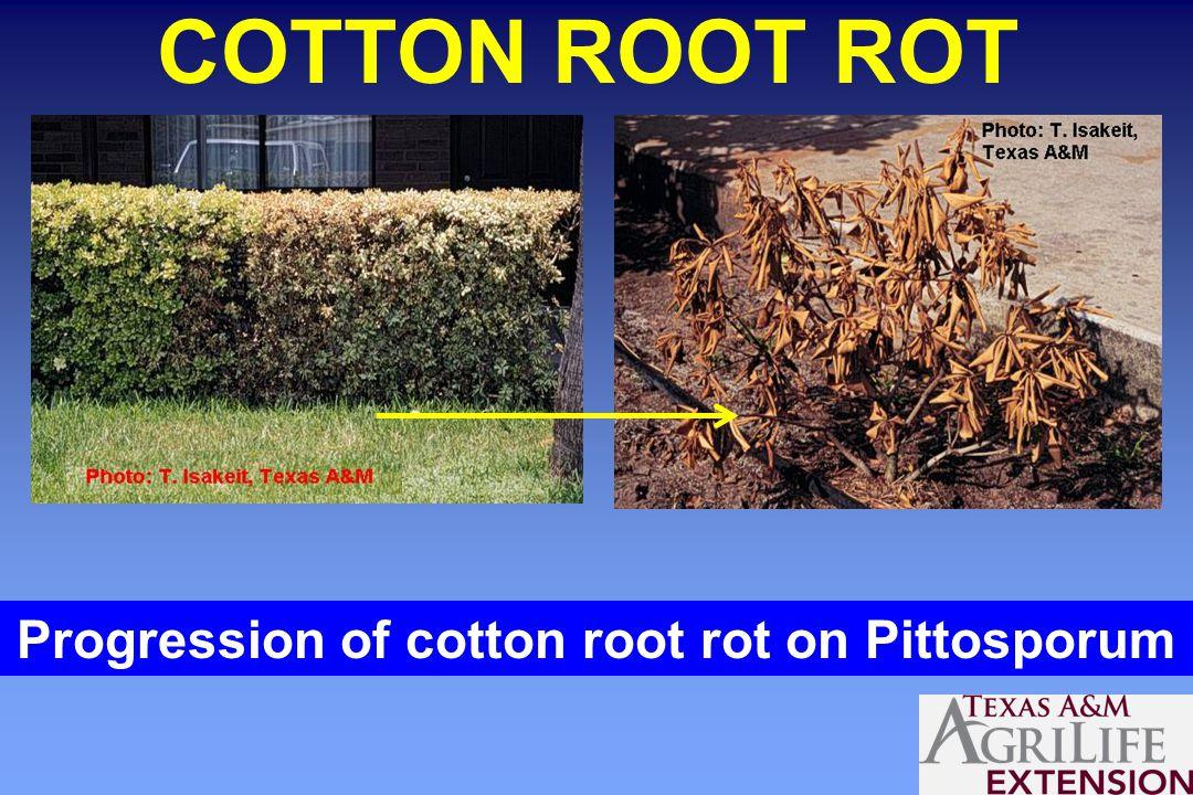 COTTON ROOT ROT Progression of cotton root rot on Pittosporum