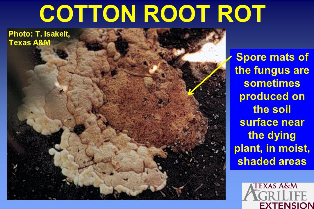 COTTON ROOT ROT Spore mats of the fungus are sometimes produced on the soil surface near the dying plant, in moist, shaded areas