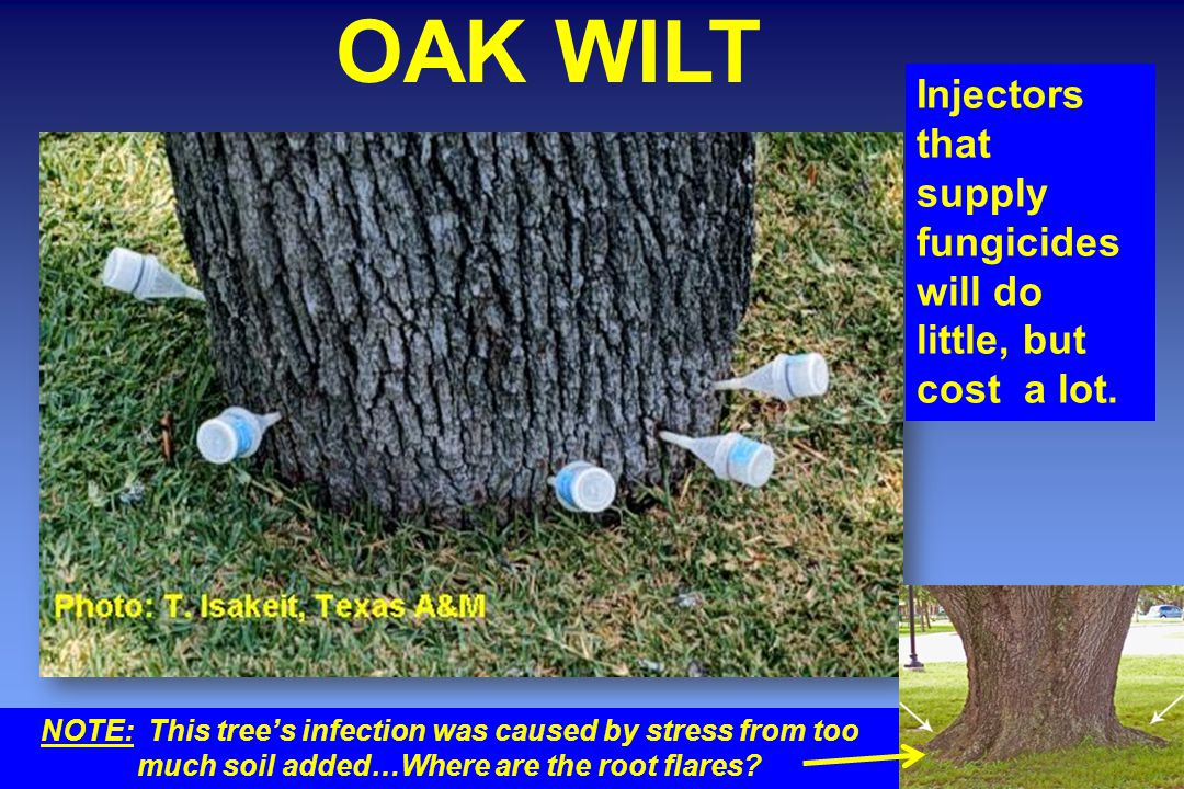 OAK WILT Injectors that supply fungicides will do little, but cost a lot.