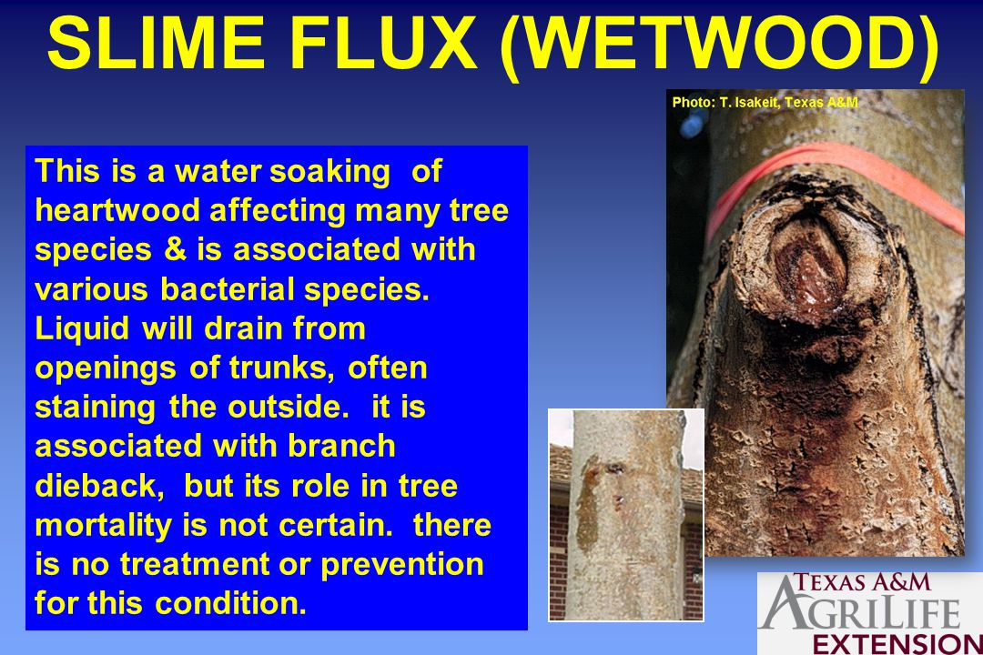 SLIME FLUX (WETWOOD) This is a water soaking of heartwood affecting many tree species & is associated with various bacterial species.