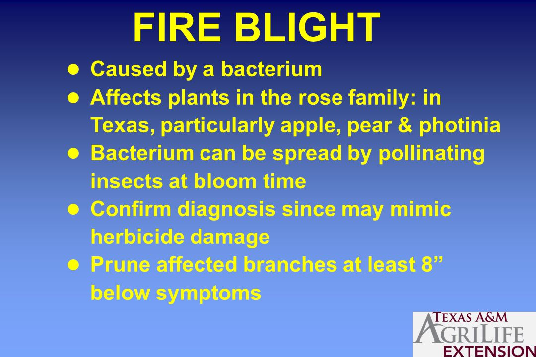 FIRE BLIGHT Caused by a bacterium Affects plants in the rose family: in Texas, particularly apple, pear & photinia Bacterium can be spread by pollinating insects at bloom time Confirm diagnosis since may mimic herbicide damage Prune affected branches at least 8 below symptoms