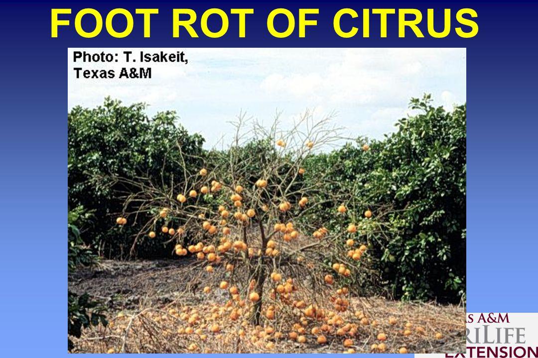 FOOT ROT OF CITRUS
