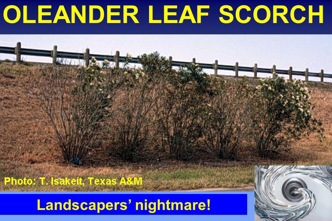 OLEANDER LEAF SCORCH Landscapers' nightmare!