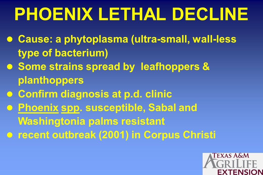 PHOENIX LETHAL DECLINE Cause: a phytoplasma (ultra-small, wall-less type of bacterium) Some strains spread by leafhoppers & planthoppers Confirm diagnosis at p.d.