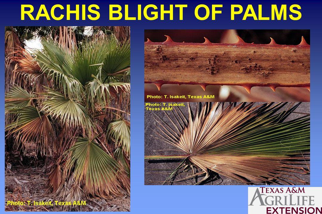 RACHIS BLIGHT OF PALMS