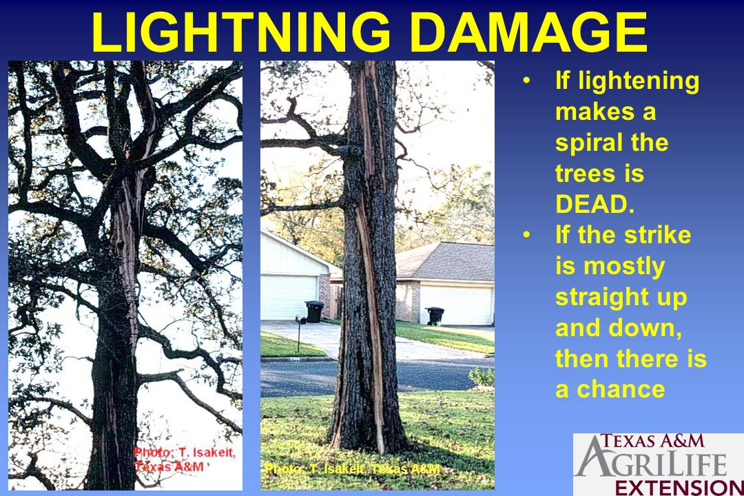 LIGHTNING DAMAGE If lightening makes a spiral the trees is DEAD.