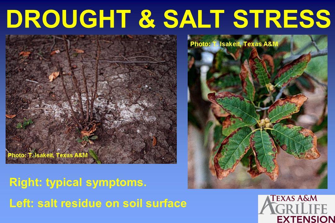 DROUGHT & SALT STRESS Right: typical symptoms. Left: salt residue on soil surface