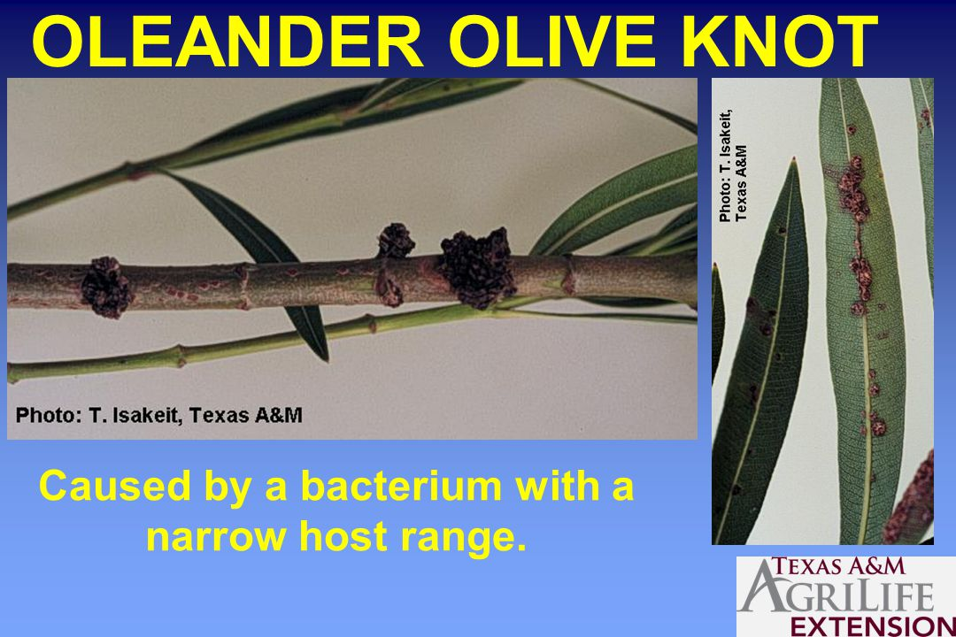 OLEANDER OLIVE KNOT Caused by a bacterium with a narrow host range.