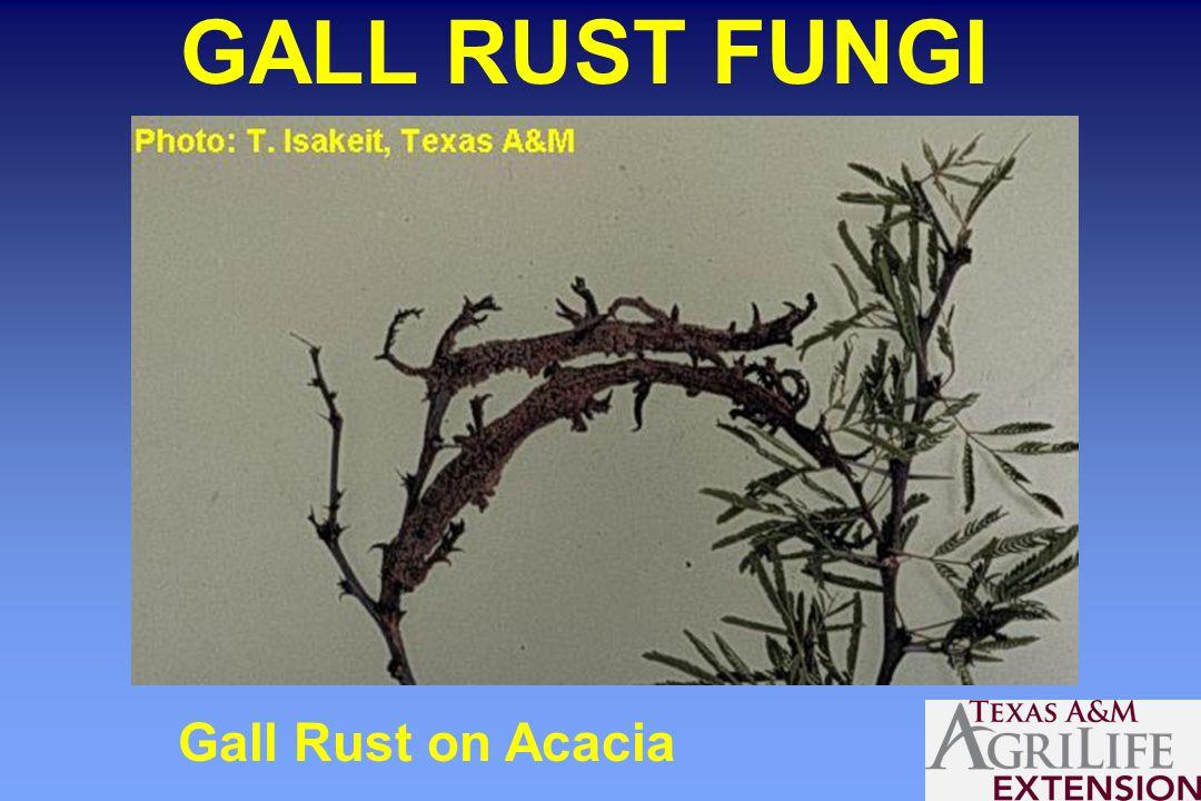 GALL RUST FUNGI Gall Rust on Acacia