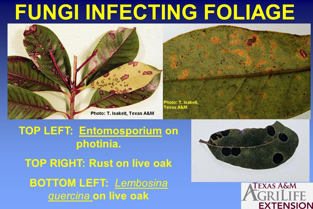 FUNGI INFECTING FOLIAGE TOP LEFT: Entomosporium on photinia.