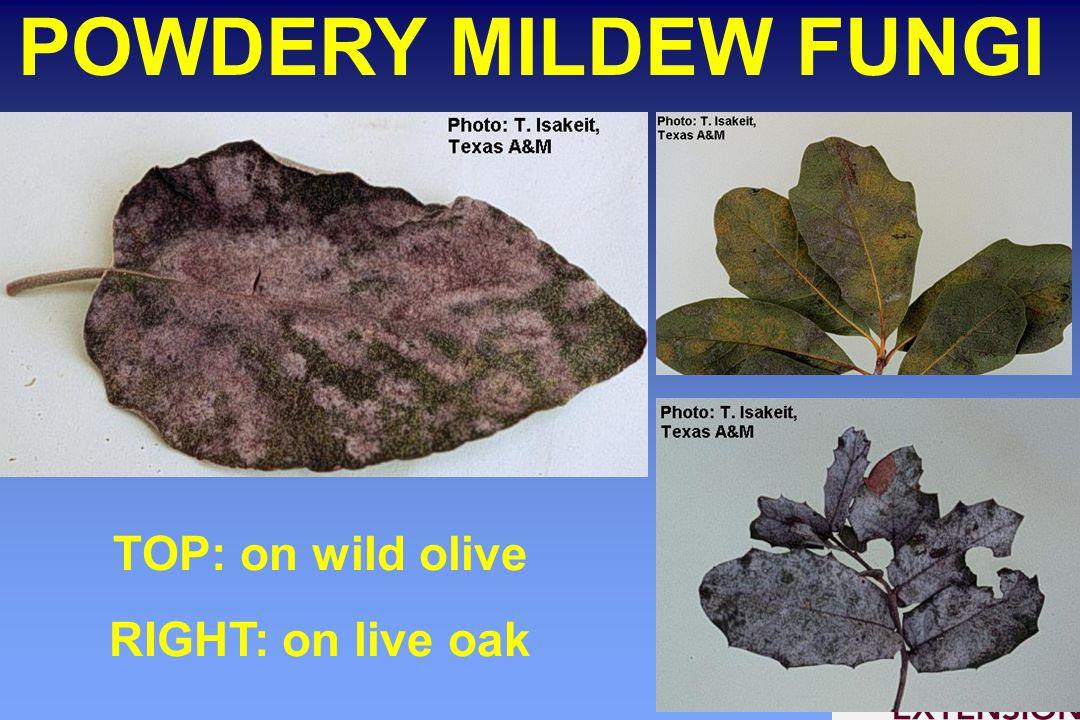 POWDERY MILDEW FUNGI TOP: on wild olive RIGHT: on live oak