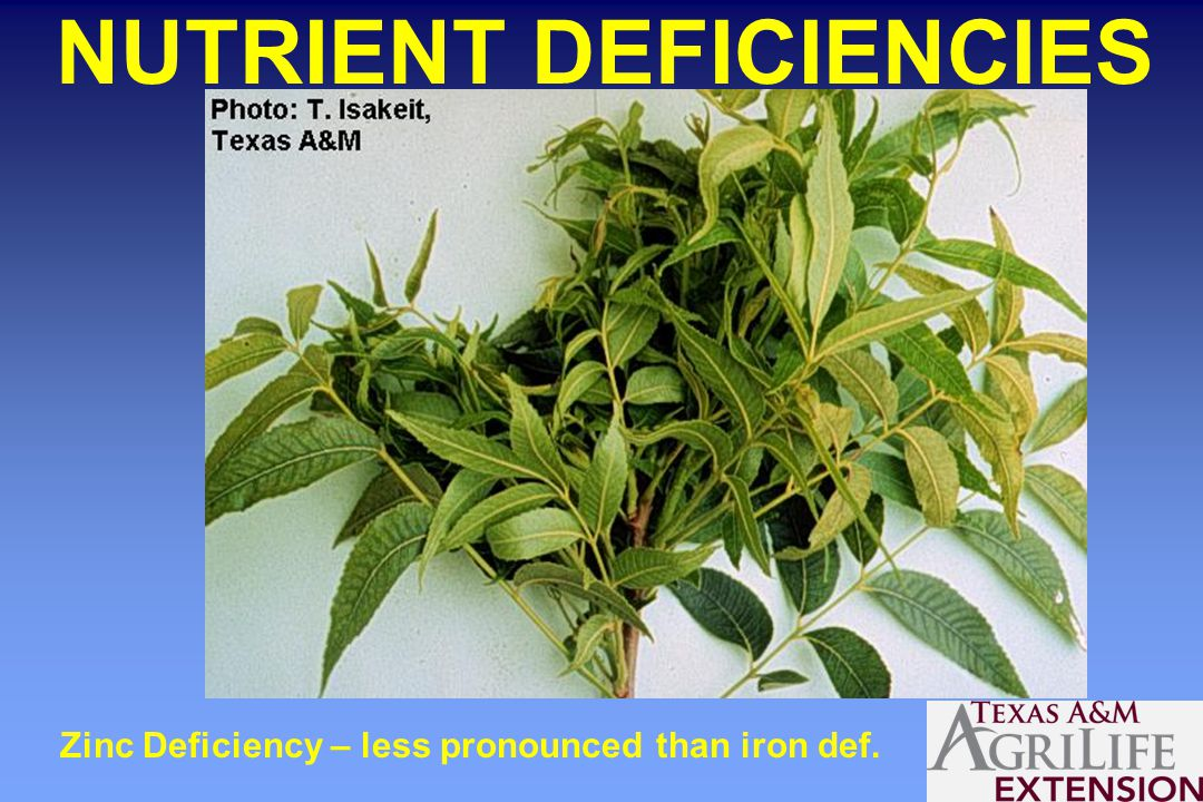 NUTRIENT DEFICIENCIES Zinc Deficiency – less pronounced than iron def.