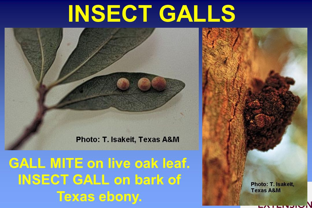 INSECT GALLS GALL MITE on live oak leaf. INSECT GALL on bark of Texas ebony.
