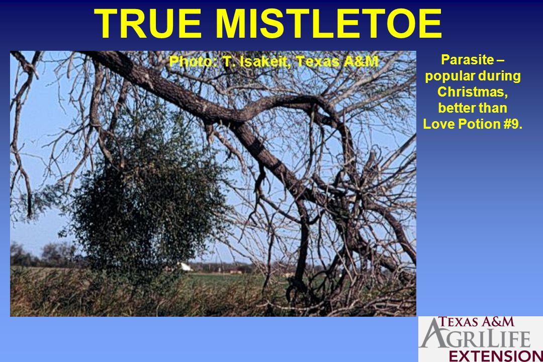 TRUE MISTLETOE Parasite – popular during Christmas, better than Love Potion #9.