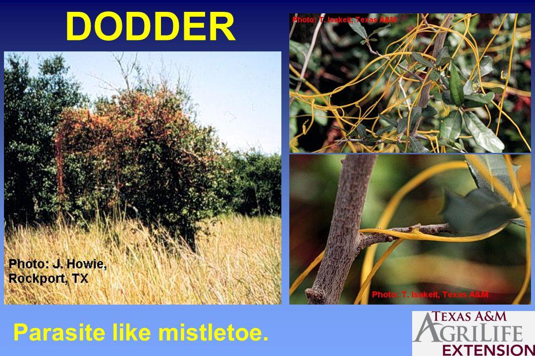 DODDER Parasite like mistletoe.