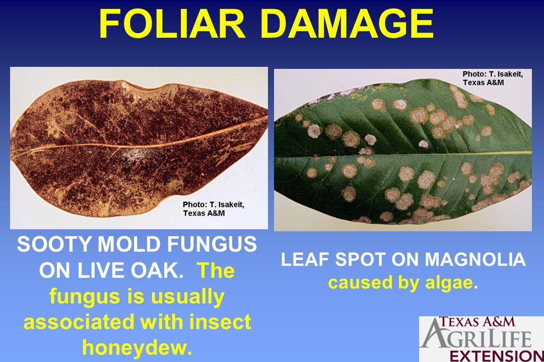 FOLIAR DAMAGE LEAF SPOT ON MAGNOLIA caused by algae.