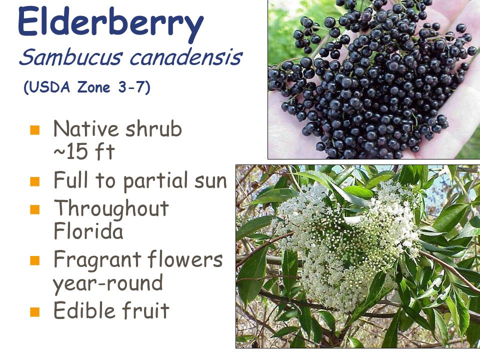 Elderberry Sambucus canadensis (USDA Zone 3-7) Native shrub ~15 ft Full to partial sun Throughout Florida Fragrant flowers year-round Edible fruit