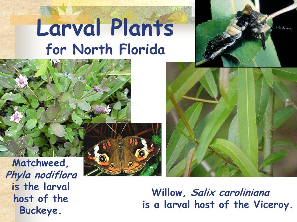 Larval Plants for North Florida Matchweed, Phyla nodiflora is the larval host of the Buckeye.