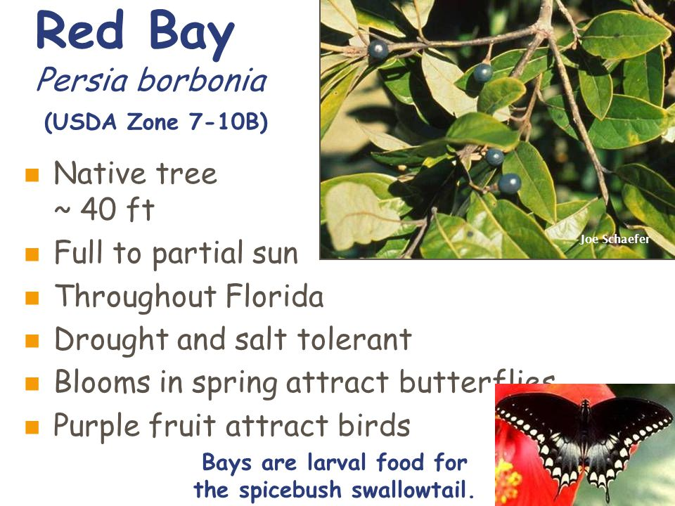 Red Bay Persia borbonia (USDA Zone 7-10B) Native tree ~ 40 ft Full to partial sun Throughout Florida Drought and salt tolerant Blooms in spring attract butterflies Purple fruit attract birds Joe Schaefer Bays are larval food for the spicebush swallowtail.