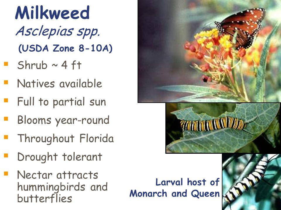 Milkweed Asclepias spp.