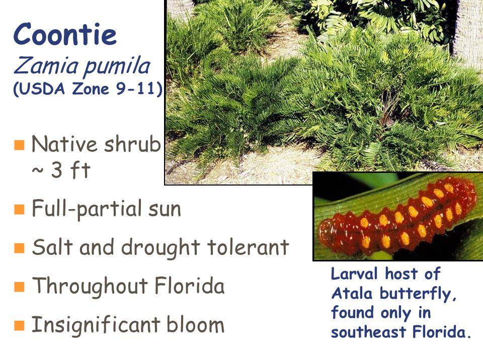 Native shrub ~ 3 ft Full-partial sun Salt and drought tolerant Throughout Florida Insignificant bloom Coontie Zamia pumila (USDA Zone 9-11) Larval host of Atala butterfly, found only in southeast Florida.