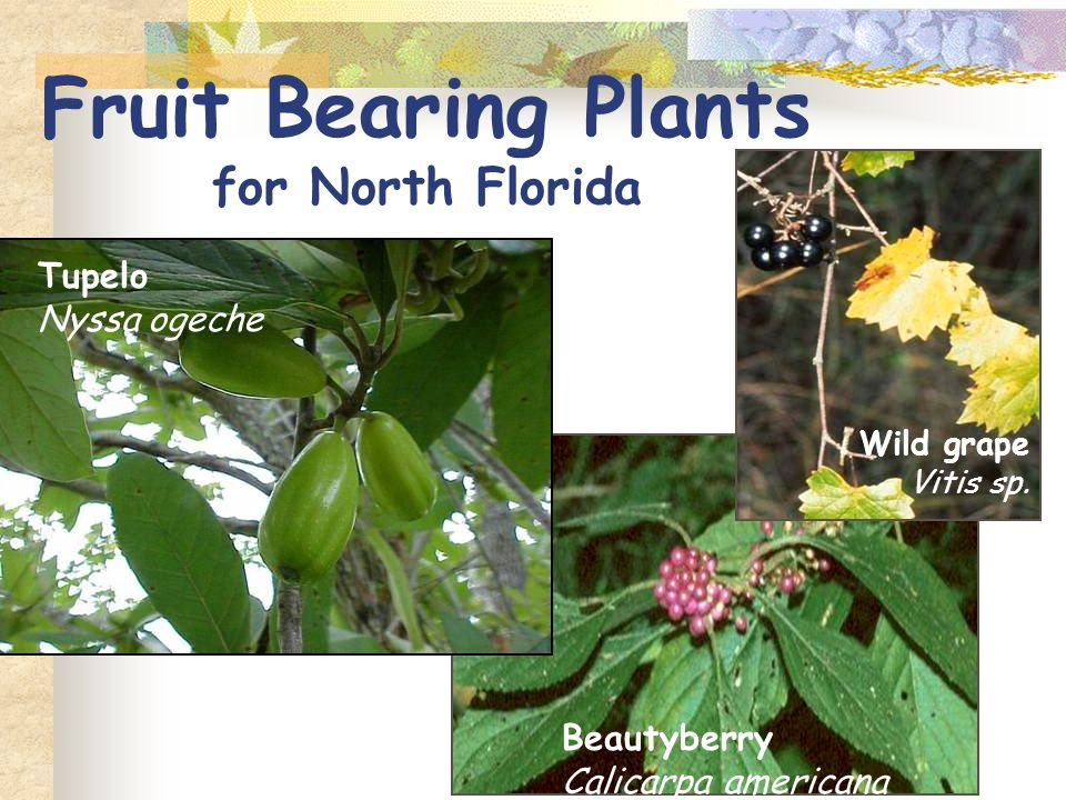 Mulberry Morus rubra Large native tree ~ 40 ft Full sun Throughout Florida Edible fruit in spring Brittle bark, messy (USDA Zone 5-9)