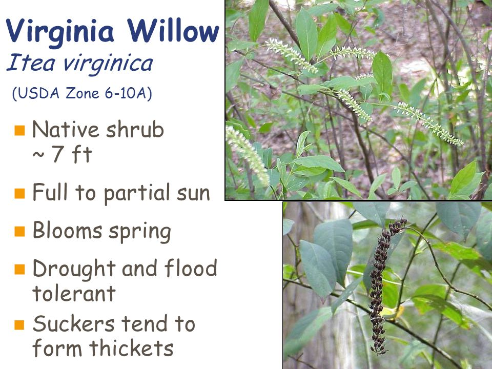 Virginia Willow Itea virginica (USDA Zone 6-10A) Native shrub ~ 7 ft Full to partial sun Blooms spring Drought and flood tolerant Suckers tend to form thickets