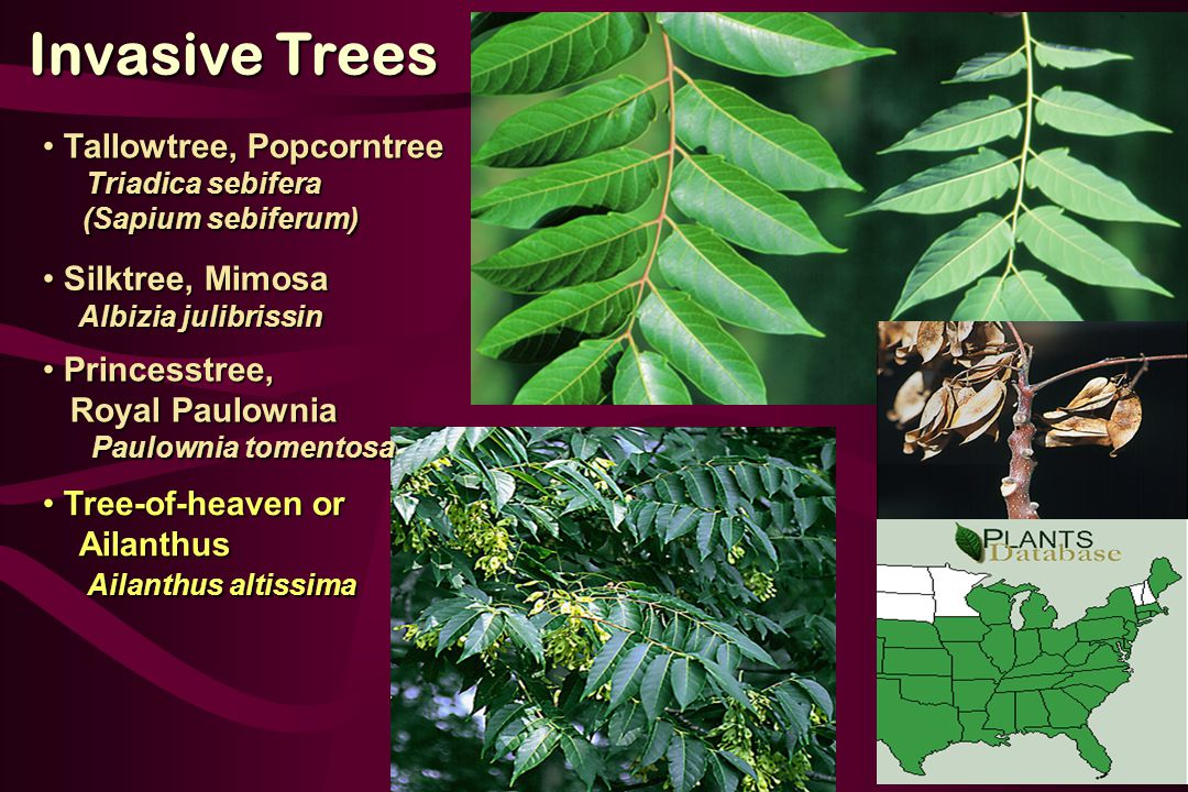 Tree-of-heaven or Tree-of-heaven or Ailanthus Ailanthus Ailanthus altissima Ailanthus altissima Princesstree, Princesstree, Royal Paulownia Royal Paulownia Paulownia tomentosa Paulownia tomentosa Silktree, Mimosa Silktree, Mimosa Albizia julibrissin Albizia julibrissin Invasive Trees Tallowtree, Popcorntree Tallowtree, Popcorntree Triadica sebifera Triadica sebifera (Sapium sebiferum) (Sapium sebiferum)