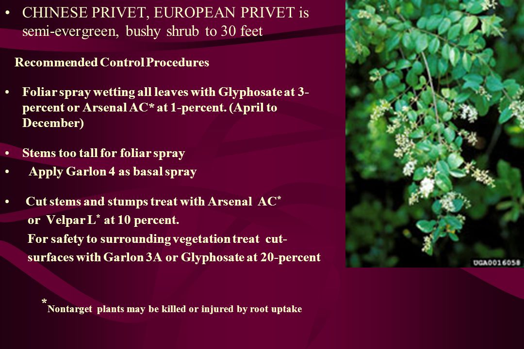 CHINESE PRIVET, EUROPEAN PRIVET is semi-evergreen, bushy shrub to 30 feet Recommended Control Procedures Foliar spray wetting all leaves with Glyphosate at 3- percent or Arsenal AC* at 1-percent.