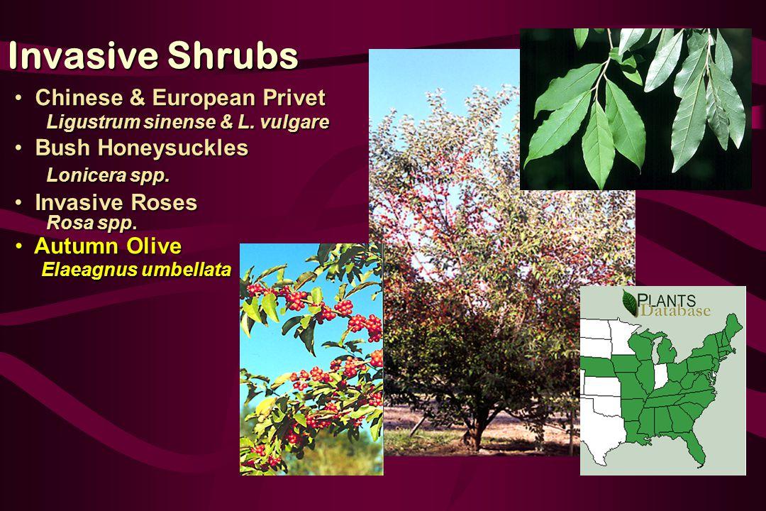 Autumn Olive Autumn Olive Elaeagnus umbellata Elaeagnus umbellata Invasive Roses Invasive Roses Rosa spp.