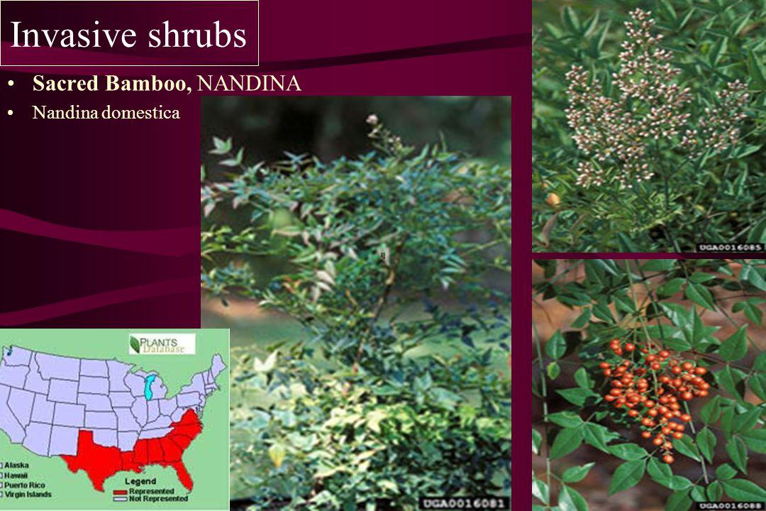 Invasive shrubs Sacred Bamboo, NANDINA Nandina domestica