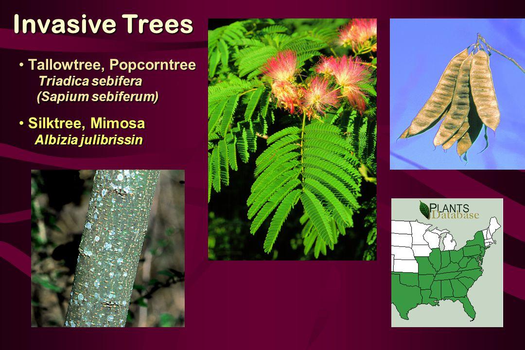 Silktree, Mimosa Silktree, Mimosa Albizia julibrissin Albizia julibrissin Invasive Trees Tallowtree, Popcorntree Tallowtree, Popcorntree Triadica sebifera Triadica sebifera (Sapium sebiferum) (Sapium sebiferum)