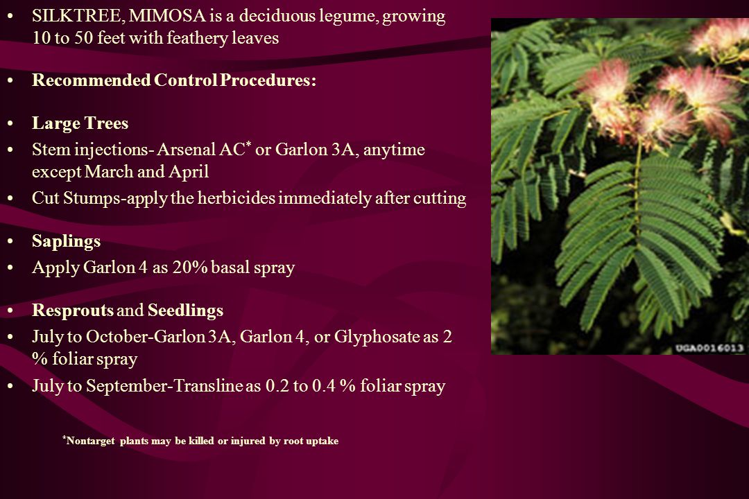 SILKTREE, MIMOSA is a deciduous legume, growing 10 to 50 feet with feathery leaves Recommended Control Procedures: Large Trees Stem injections- Arsenal AC * or Garlon 3A, anytime except March and April Cut Stumps-apply the herbicides immediately after cutting Saplings Apply Garlon 4 as 20% basal spray Resprouts and Seedlings July to October-Garlon 3A, Garlon 4, or Glyphosate as 2 % foliar spray July to September-Transline as 0.2 to 0.4 % foliar spray * Nontarget plants may be killed or injured by root uptake