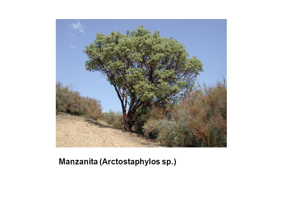 Manzanita (Arctostaphylos sp.)