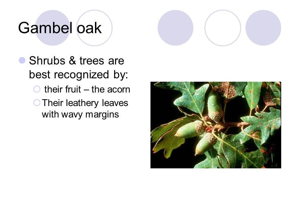 Shrubs & trees are best recognized by:  their fruit – the acorn  Their leathery leaves with wavy margins