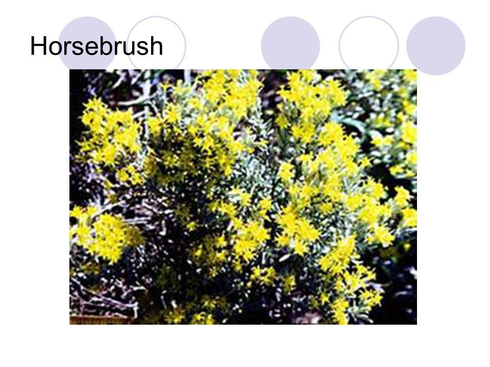 Horsebrush
