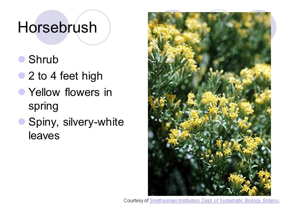 Shrub 2 to 4 feet high Yellow flowers in spring Spiny, silvery-white leaves Courtesy of Smithsonian Institution, Dept.